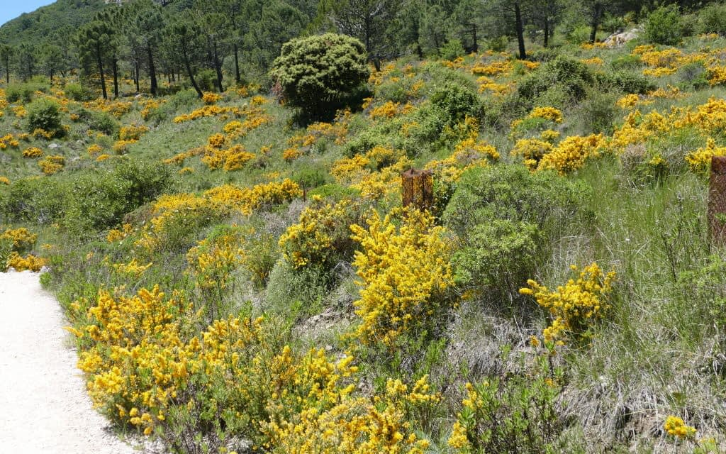 broom, genista, legumes, yellow, andalusia