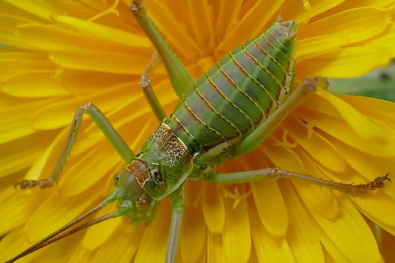 Grasshoppers, crickets and bushcrickets of Andalusia.