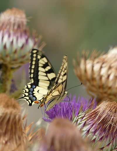 A very common butterfly in Andalusia, the Old World swallowtail (Papilio machaon), foraging at Cardunculus.