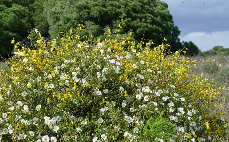 Shrublands in Andalusia: rockroses and Spanish broom